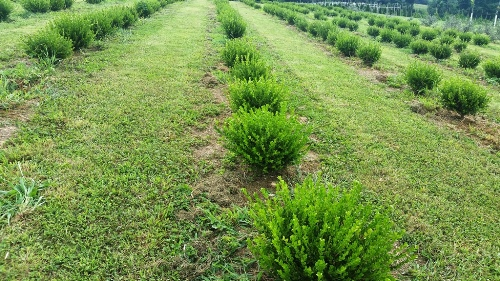 Wholesale Shrub Grower Maryland Delivery Evergreen Shrubs