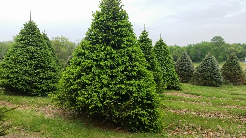 Large Specimen Norway Spruces