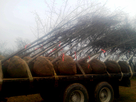 Tree Delivery Wholesale Maryland