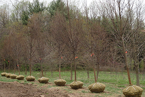 Wholesale Tree Delivery Maryland