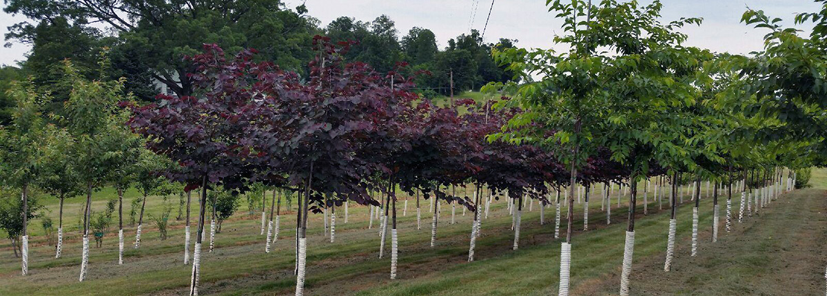 All Trees And Shrubs Nurseries Maryland Whole Grower Of Shade