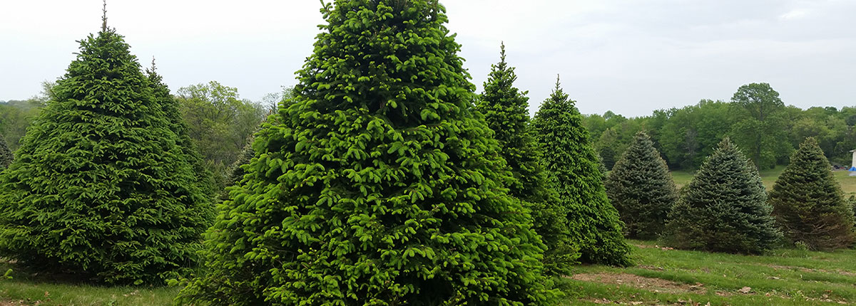 Norway Spruces